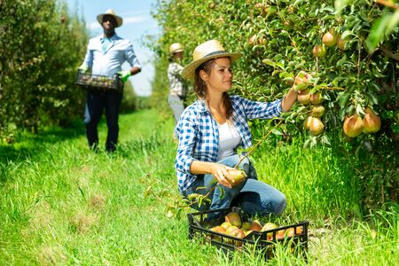Foto für Young attractive woman farmer with assistants harvesting ripe pears and laying in box in fruit garden - Lizenzfreies Bild