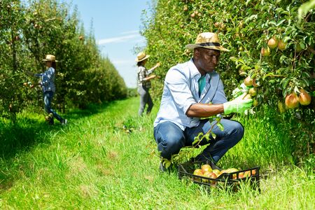 Foto für African-American farmer with female assistants harvesting ripe pears and laying in plastic box in fruit garden - Lizenzfreies Bild