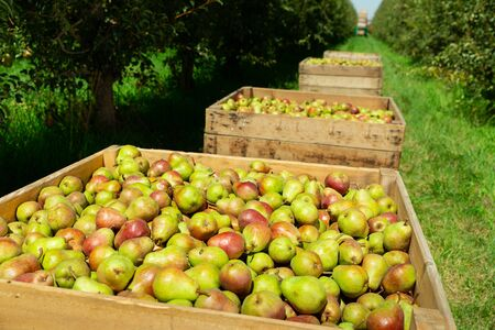 Foto für Picturesque landscape of summer orchard with row of wooden crates full of ripe pears. Rich farm harvest - Lizenzfreies Bild