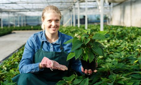 Photo pour Young woman gardener in gloves working with euphorbia pulcherrima in pots in greenhouse - image libre de droit