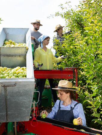 Foto für Team of professional workers harvests apples on a plantation - Lizenzfreies Bild