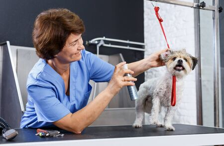 Portrait of caring elderly woman grooming cute havanese with cosmetics for dogs in professional pet salon
