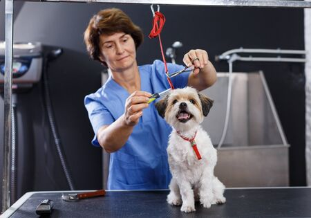 Little cute havanese puppy getting grooming in professional pet salon