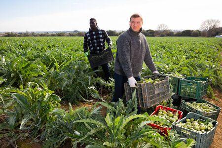 Foto für Man horticulturist holding crate with harvest of artichokes during harvesting  in garden - Lizenzfreies Bild