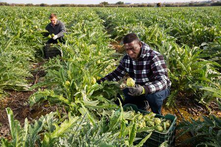 Foto für Portrait of men gardeners during harvesting of artichokes in garden - Lizenzfreies Bild