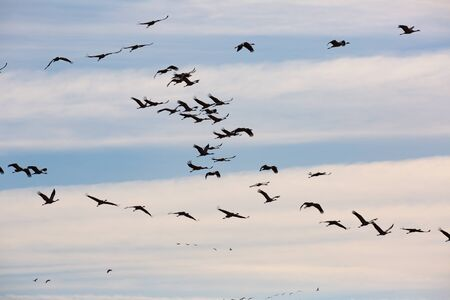 Photo pour Large flock of cranes flying in blue spring sky. Bird migration time   - image libre de droit