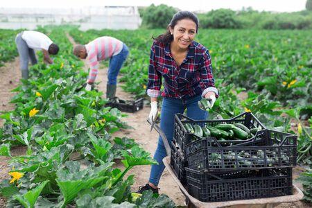 Photo pour Hispanic female farmer hand harvesting green courgette variety on farm plantation - image libre de droit