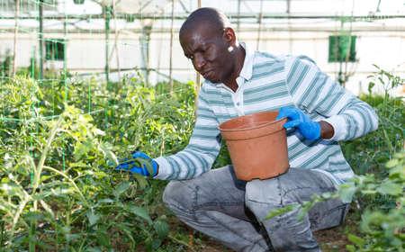 Photo pour Male worker tying up tomato plants - image libre de droit