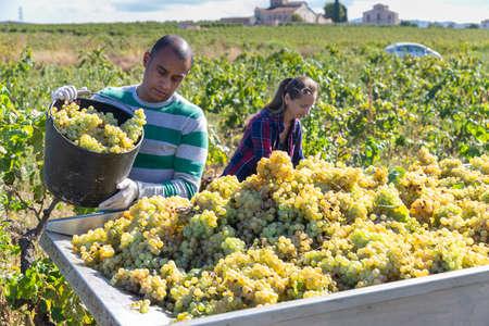 Foto für Man and female working with harvest in vineyard, picking bunches of grapes - Lizenzfreies Bild