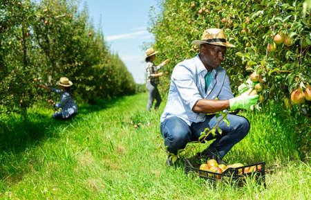 Foto für Man gathering harvest of pears in plastic crate - Lizenzfreies Bild