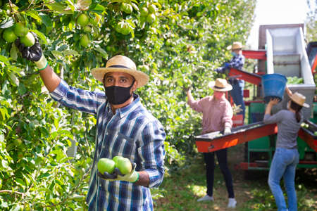 Photo for Worker in mask gathering apples at orchard - Royalty Free Image