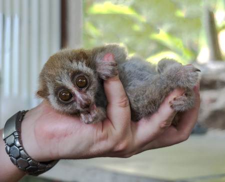 Animal Right Concept, Wild Slow Loris Monkey in Male Hand Looking to The Camera