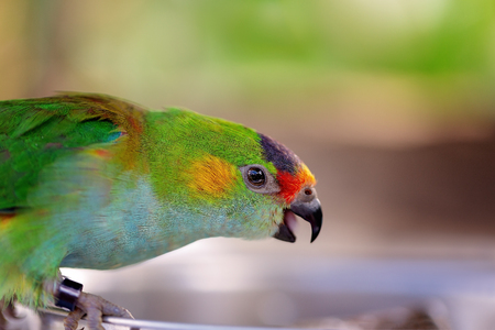 Photo pour Colorful Australian fig parrot looking for seed to eat - image libre de droit