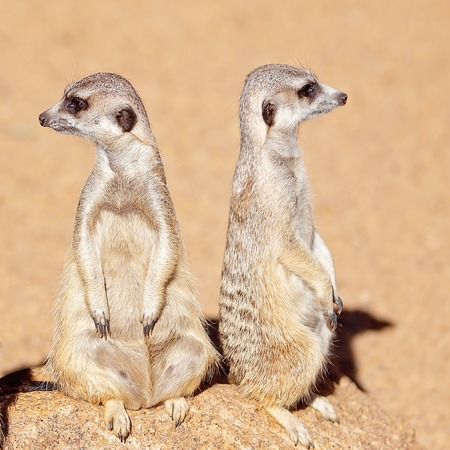 Photo for A pair of meerkats standing looking around. These animals belong to the mongoose family. Here they are staring inquisitively. - Royalty Free Image