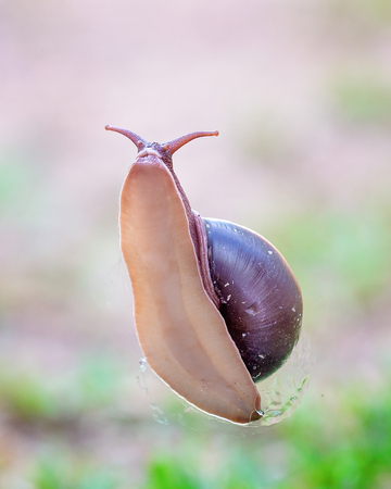 Foto de The soft slimy underbelly of a bi-colored snail showing its head and part of its shell, against a green grass background - Imagen libre de derechos
