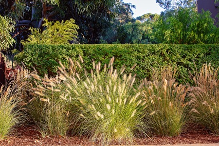 Photo pour Grasses growing wild in front of a formal trimmed hedge to give a contrasting pattern to the garden - image libre de droit