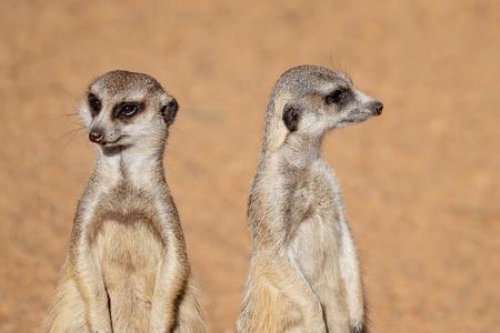 Foto de Two inquisitive and cute meerkats looking around, isolated in their habitat against a brown background - Imagen libre de derechos