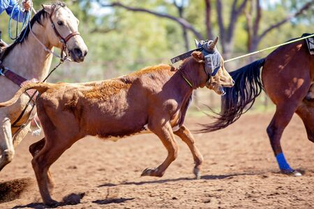 Photo pour A running calf lassoed by cowboys in a dusty Australian outback country rodeo arena - image libre de droit