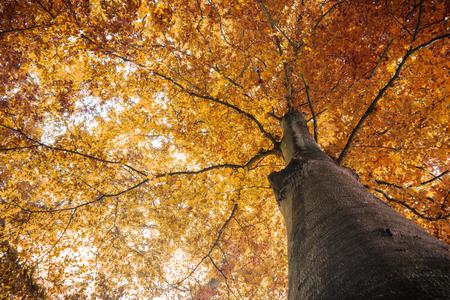 autumn fall tree with orange leaves