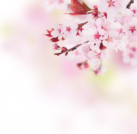 Detail of cherry blossoms with free space for text