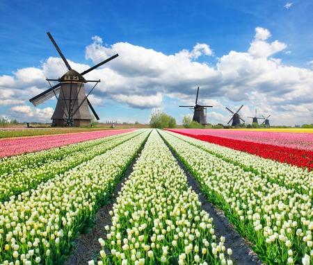 Photo pour Vibrant tulips field with Dutch windmills, Netherlands. Beautiful cloudy sky - image libre de droit