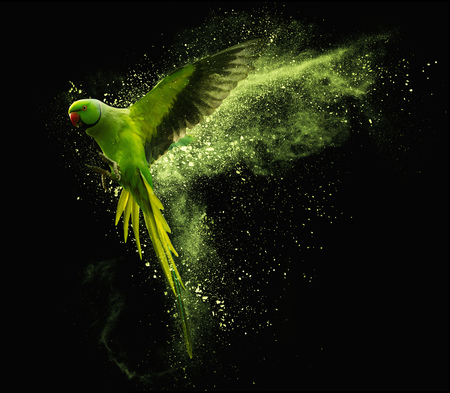 Foto per Flying green parrot Alexandrine parakeet with colored powder clouds. Isolated on black background - Immagine Royalty Free