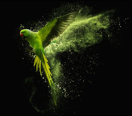 Foto de Flying green parrot Alexandrine parakeet with colored powder clouds. Isolated on black background - Imagen libre de derechos