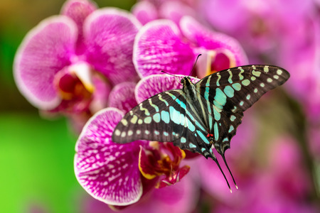 Beautiful butterfly Tailed jay, Graphium agamemnon, in tropical forest sitting on blossom. Tropical nature of rain forest, butterfly insect macro photography.
