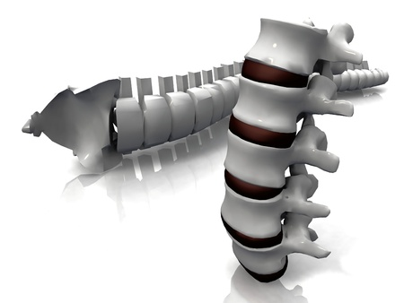 the spine and the vertebrae