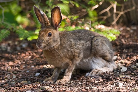 A hare sitting on the forest floor looking at the camera