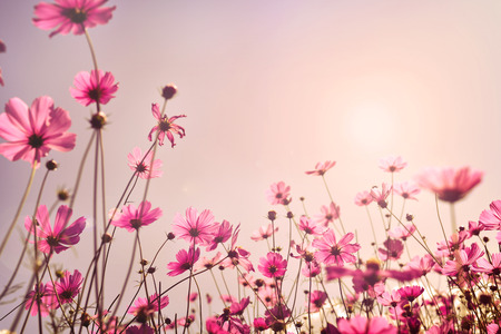 Foto de Pink tone of cosmos flower field. Sweet and love in valentine day background concept - Imagen libre de derechos