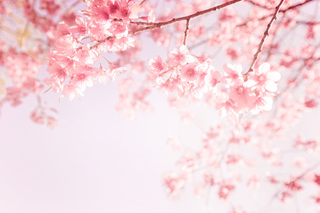beautiful vintage sakura flower (cherry blossom) in spring. vintage pink color toneの写真素材