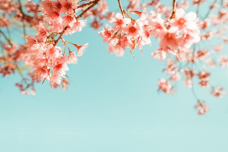 beautiful vintage sakura flower (cherry blossom) in spring. vintage color tone