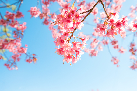 Foto de Beautiful sakura flower (cherry blossom) in spring. sakura tree flower on blue sky. - Imagen libre de derechos