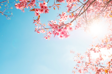 Photo pour Beautiful sakura flower (cherry blossom) in spring. sakura tree flower on blue sky. - image libre de droit
