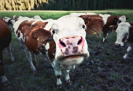 Photo for Funny cow - Royalty Free Image