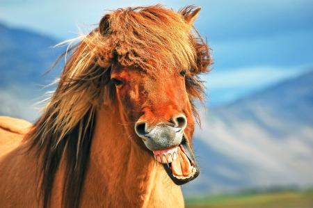 Photo pour Icelandic horse - image libre de droit