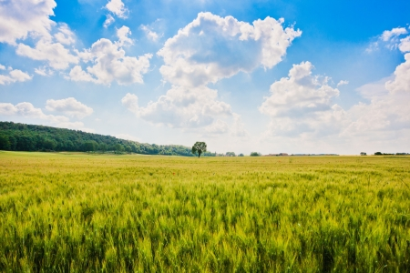 Foto per Beautiful landscape with cornfield and and trees in Tuscany, Italy - Immagine Royalty Free