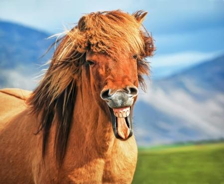 Photo pour Icelandic horse smiling - image libre de droit