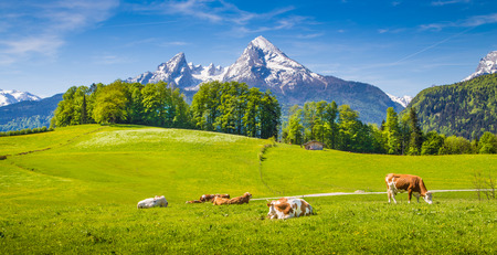 Photo pour Idyllic summer landscape in the Alps with cow grazing on fresh green mountain pastures and snow capped mountain tops in the background, Nationalpark Berchtesgadener Land, Upper Bavaria, Germany - image libre de droit
