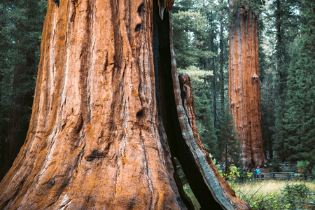 Foto de Scenic view of famous giant sequoia trees, also known as giant redwoods or Sierra redwoods, on a beautiful sunny day with green meadows  in summer, Sequoia National Park, California, USA - Imagen libre de derechos