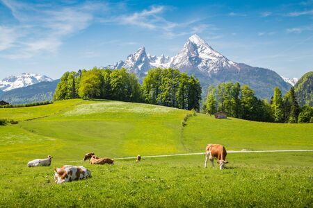 Photo pour Idyllic summer landscape in the Alps with cows grazing on fresh green mountain pastures and snow capped mountain tops in the background - image libre de droit