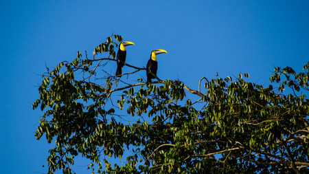 Couple toucans perched on a branch, Tortuguero National Park, Costa Rica.