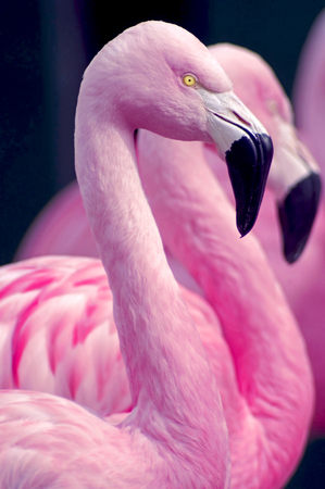 Photo for Chilean Flamingos - Royalty Free Image