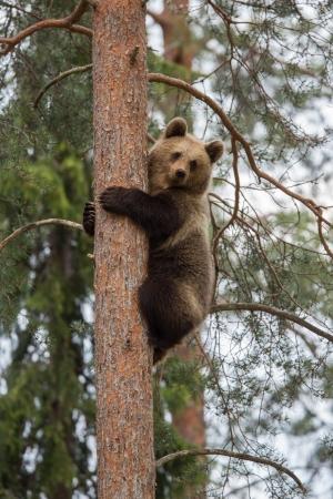 Bear Cub Climbing Tree