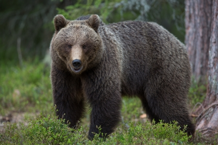 Photo for Brown bear in Tiaga forest - Royalty Free Image
