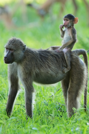 Baboon baby riding mother