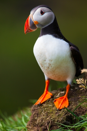 Atlantic Puffin standing in grass, Iceland