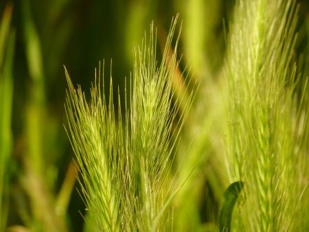 Sunlit Grass Seedheads