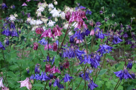 Blue and Pink Columbines